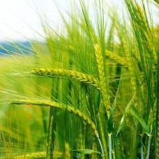 Пшеница 0.5 кг